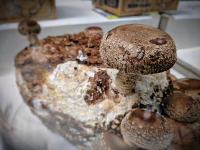 mushroom. growing in case.
